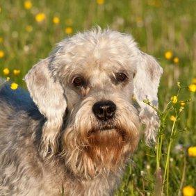 Dendžio Dinmonto terjeras informacija, nuotraukos, charakteris, šunų vardai, šuniuko kaina, hipoalerginis: taip