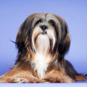 Lasos apsas informacija, nuotraukos, charakteris, šunų vardai, šuniuko kaina, hipoalerginis: ne