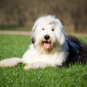 Bobteilas informacija, nuotraukos, charakteris, šunų vardai, šuniuko kaina, hipoalerginis: ne