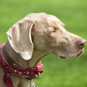 Veimaraneris informacija, nuotraukos, charakteris, šunų vardai, šuniuko kaina, hipoalerginis: ne