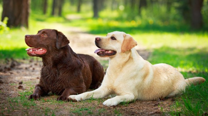 Labradoro retriveris - nuotrauka
