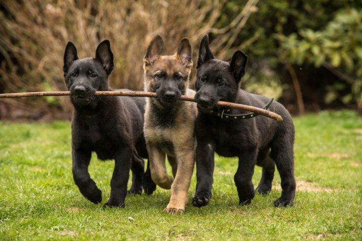 Vokiečių aviganis - šuniukas