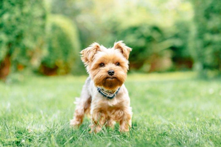 Jorkšyro terjeras - šuniukas