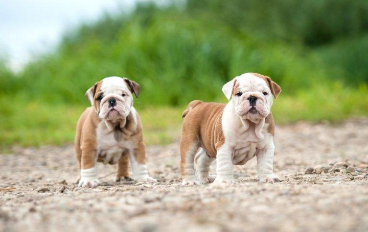 Buldogas - šuniukas