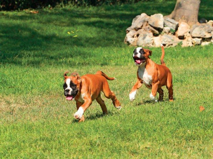 Vokiečių bokseris - šuniukas