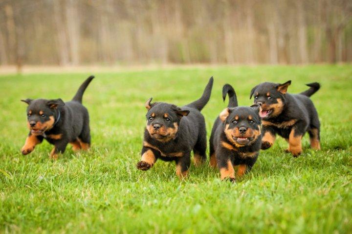 Rotveileris - šuniukas
