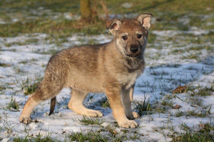 Čekoslovakų Vilkšunis - šuniukas
