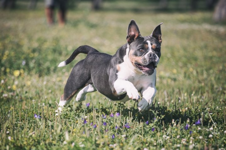 Anglų buldogas - šuniukas