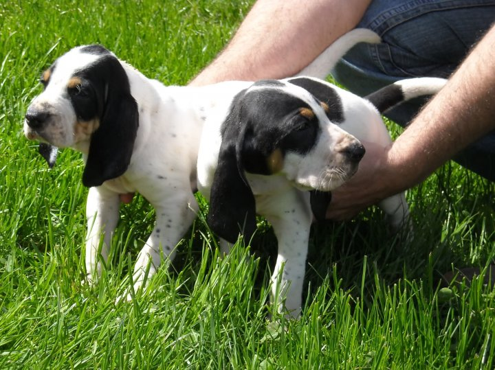 Prancūzų baltai-juodas skalikas - šuniukas