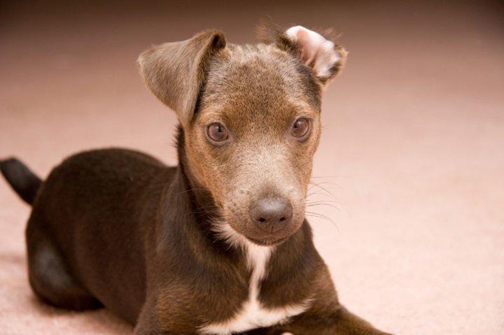 Paterdalio terjeras - šuniukas