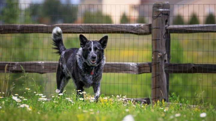 Australijos ganymo šuo - nuotrauka