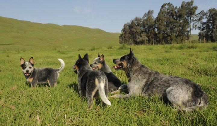 Australijos ganymo šuo - šuniukas