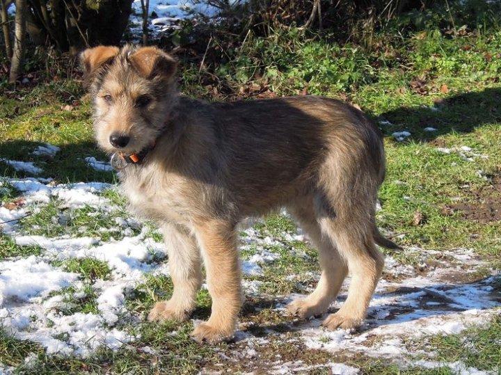 Pikardijos aviganis - šuniukas