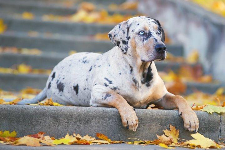 Katahulos leopardinis šuo - nuotrauka