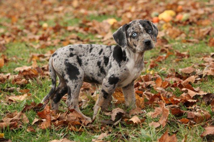 Katahulos leopardinis šuo - šuniukas