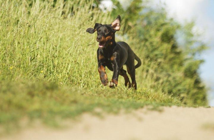 Lenkų medžioklinis šuo - šuniukas