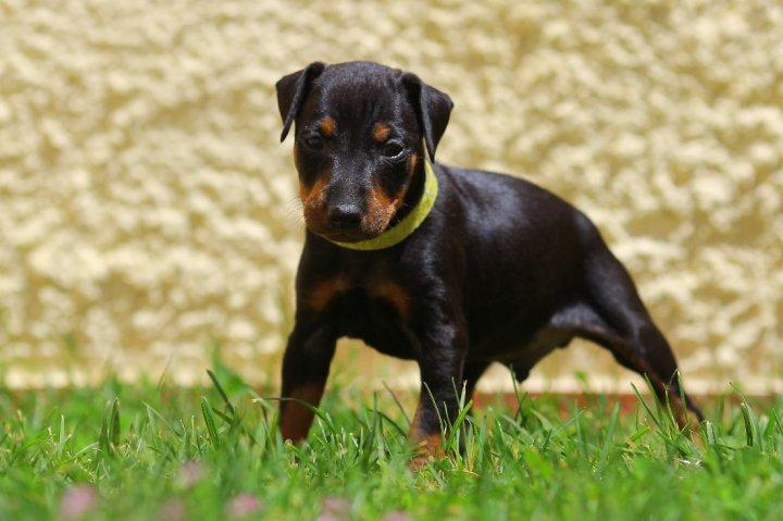 Mančesterio terjeras - šuniukas