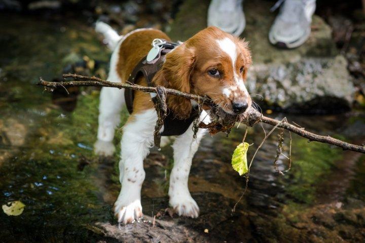 Valų springerspanielis (Velso) - šuniukas