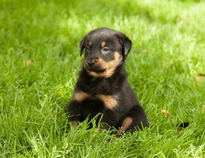 Boseronas - šuniukas