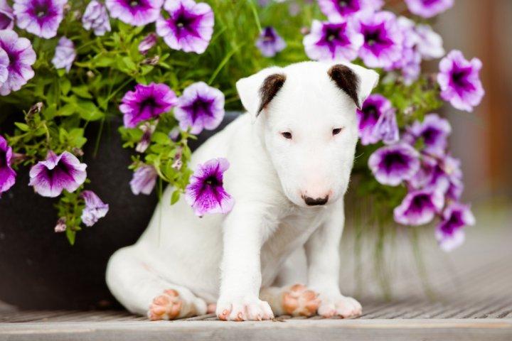 Bulterjeras - šuniukas