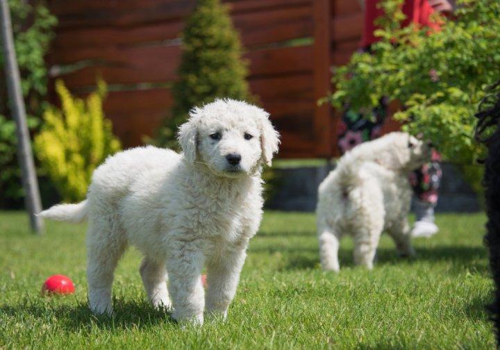 Kuvasas - šuniukas