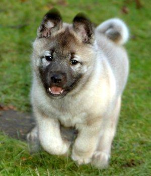 Norvegų elkhundas - šuniukas