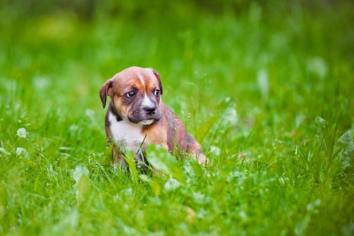 Stafordšyro bulterjeras - šuniukas