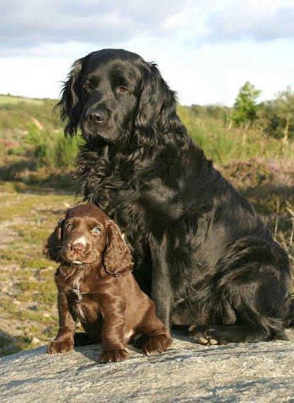 Sasekso spanielis - šuniukas