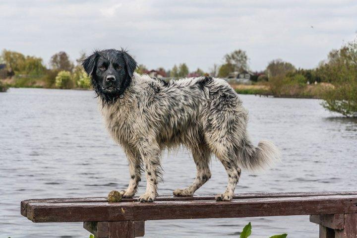 Frizų vandens šuo - nuotrauka