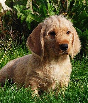 Bretonės Rudasis Basetas - šuniukas