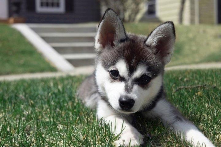 Aliaskos Klee Kai - šuniukas