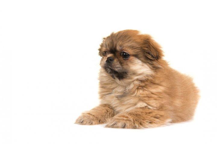 Tibeto spanielis - šuniukas