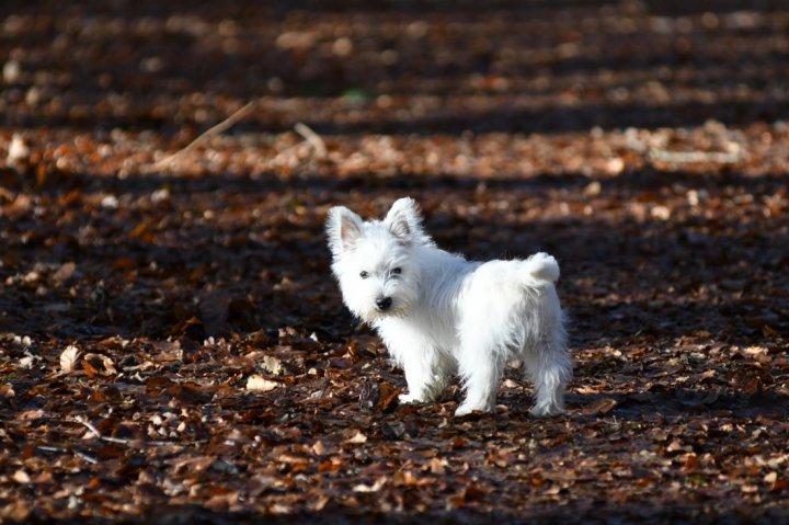 Vakarų Škotijos baltasis terjeras - šuniukas