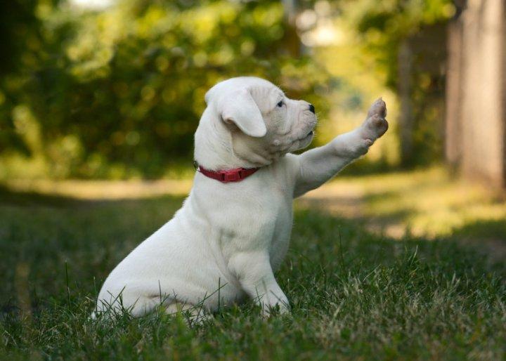 Argentinos dogas - šuniukas