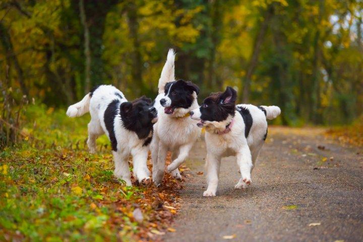 Landsyras - šuniukas