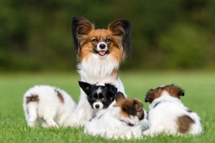 Žemyninis Dekoratyvinis Spanielis - šuniukas