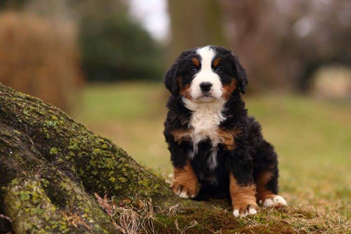 Berno zenenhundas - šuniukas