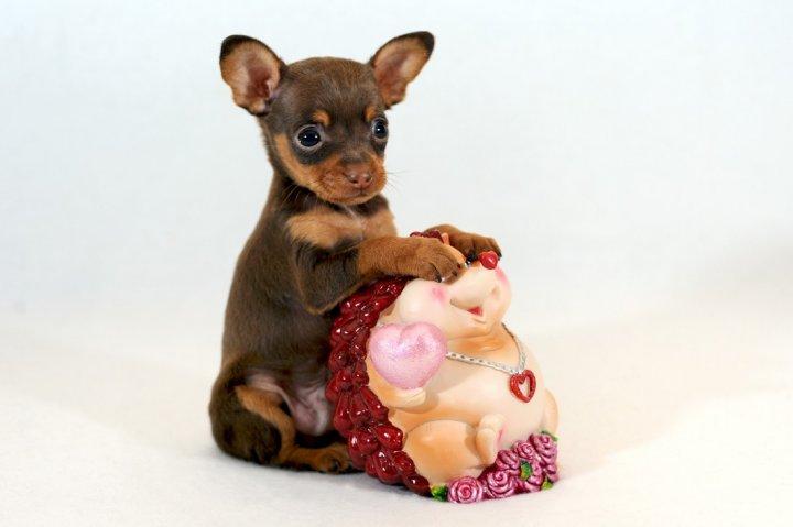 Rusų toiterjeras - šuniukas