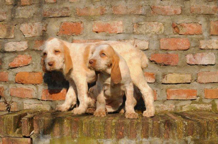 Italų spinonė - šuniukas