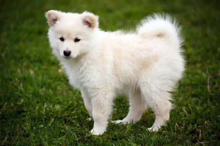 Suomių laphundas - šuniukas