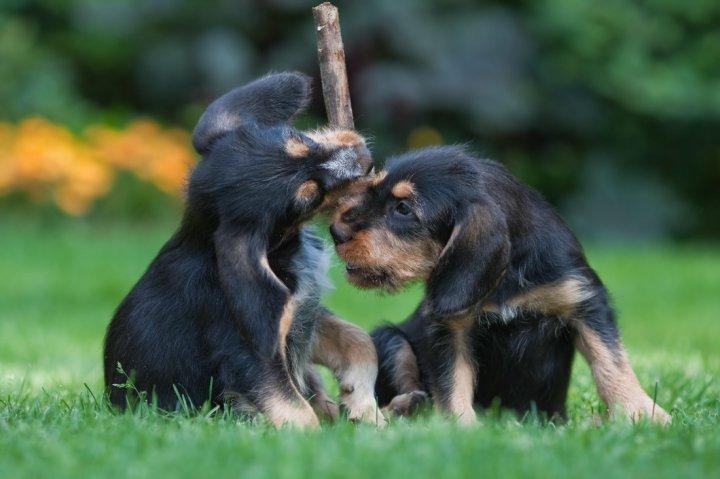 Ūdrinis šuo - šuniukas