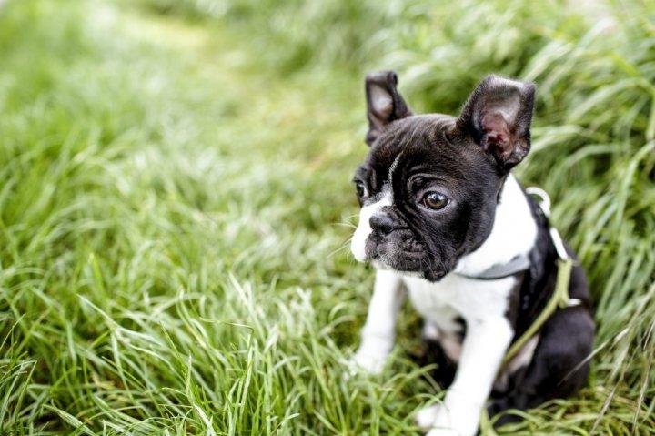 Bostono terjeras - šuniukas