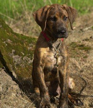 Plott Hound - šuniukas