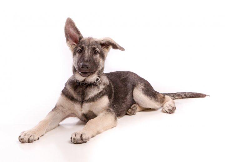 Shiloh aviganis - šuniukas