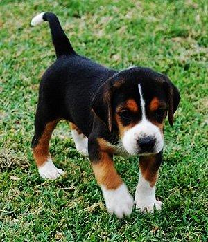 Hamiltono skalikas - šuniukas