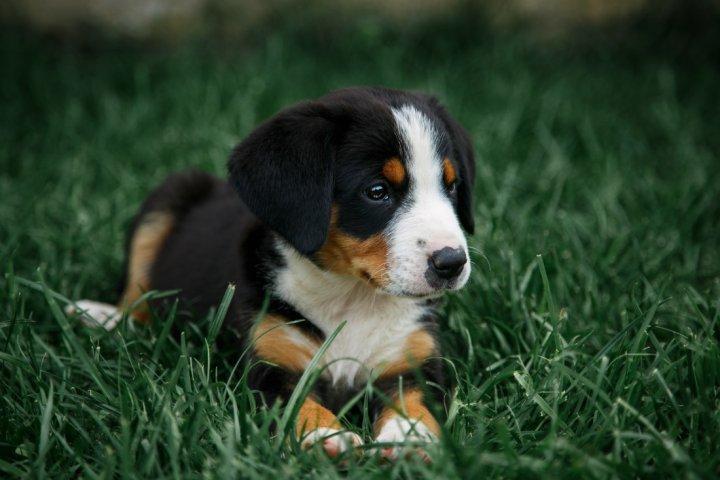 Entlebucho zenenhundas - šuniukas