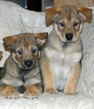 Karolinos šuo - šuniukas