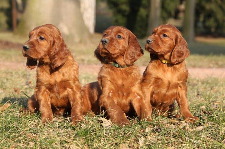 Airių seteris - šuniukas