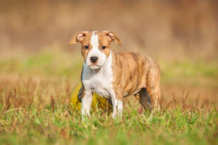 Amerikiečių Stafordšyro terjeras - šuniukas