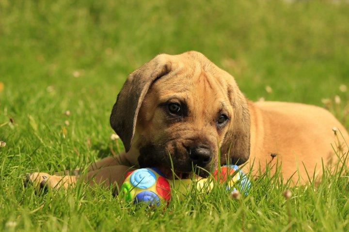 Boerboel - šuniukas